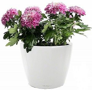Хризантема в Lechuza Classico LS 21 белый — Luxury Plants