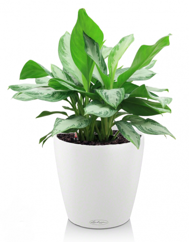 Аглаонема в Lechuza Classico LS 21 белый — Luxury Plants