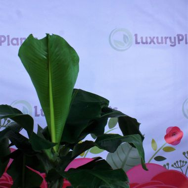 Муса тропикана / банан 110/35 — Luxury Plants
