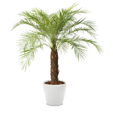 Финик Робелини + Lechuza Classico LS 35 — Luxury Plants