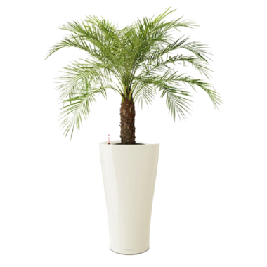 Финик Робелини + Lechuza Delta 30 — Luxury Plants