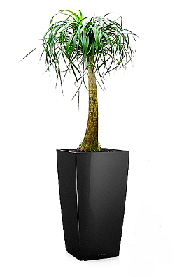 Нолина в Lechuza Cubico 30 черный — Luxury Plants