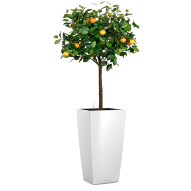 Каламондин в Lechuza Cubico 40 — Luxury Plants