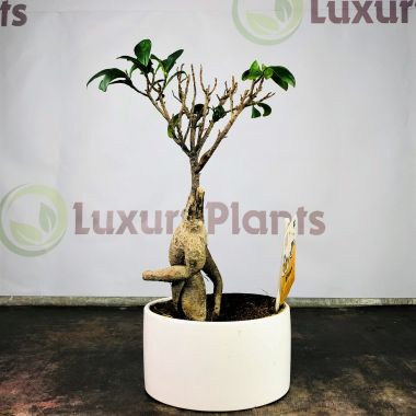 Бонсай Фикус Гинсенг в керамике. Уценка. — Luxury Plants