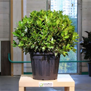 Лавр Нобилис большой шар 70/30 — Luxury Plants