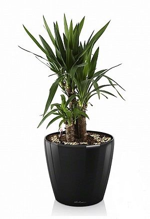 Юкка в Lechuza Classico LS 21 черный — Luxury Plants