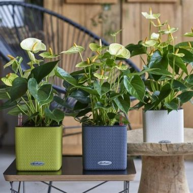 Антуриум белый + Lechuza Cube 16 в ассортименте — Luxury Plants