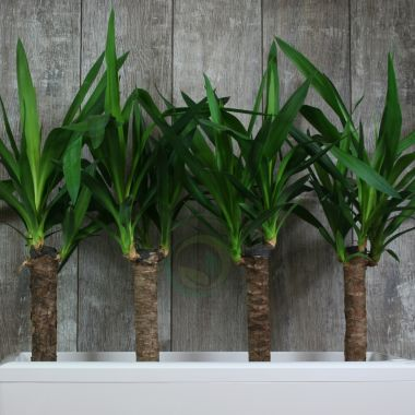 Юкка в Lechuza Cararo Белое — Luxury Plants