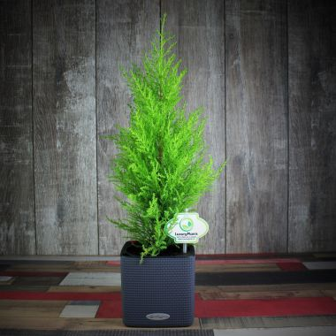 Кипарисовик Голдкресс в Lechuza Cube Color 14 Серое — Luxury Plants