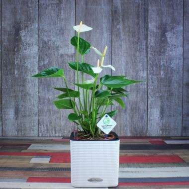 Антуриум белый в Lechuza Cube 14 Белый — Luxury Plants