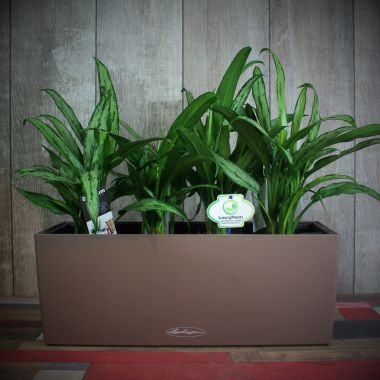 Аглаонема Кутласс в Lechuza Balconera Color 50 Мускатное — Luxury Plants