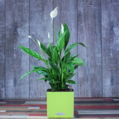 Спатифиллум в Lechuza Cube 14 Фисташковый — Luxury Plants