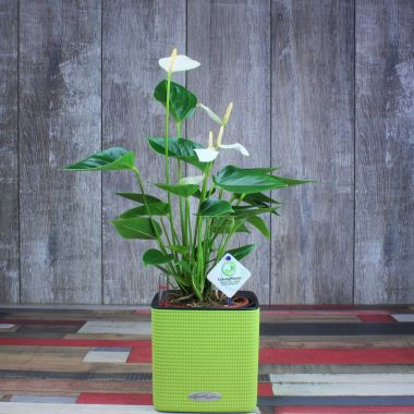 Антуриум белый в Lechuza Cube 14 Фисташковый — Luxury Plants