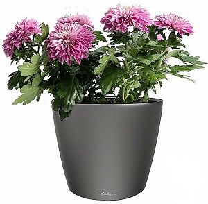 Хризантема в Lechuza Classico LS 21 антрацит — Luxury Plants