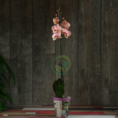 орхидеи голд раш фото что белый