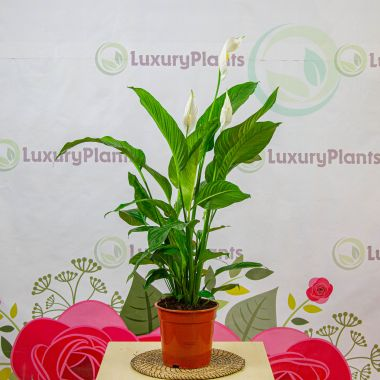 Спатифиллум Свит Лауретта 110/21 — Luxury Plants