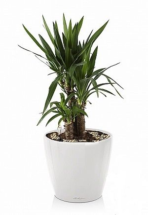 Юкка в Lechuza Classico LS 21 белый — Luxury Plants