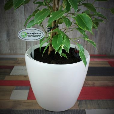 Фикус бенжамина в Lechuza Classico LS 21 белый — Luxury Plants